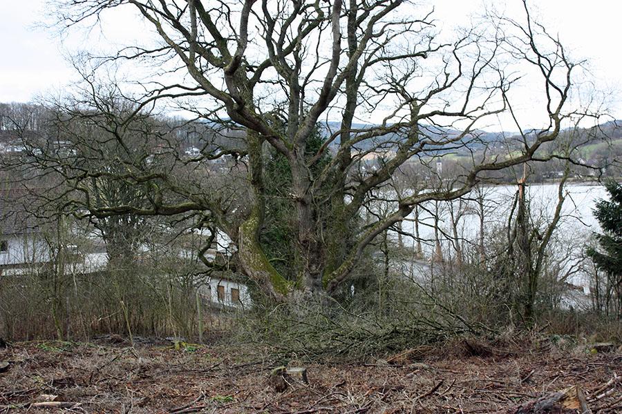 Diese alte Eiche im Bebauungsplangebiet des Ferienhausparks Amecke will Ratsmitglied Matthias Schulte-Huermann unter Schutz gestellt wissen. (Foto: matthias Schulte-Huermann)