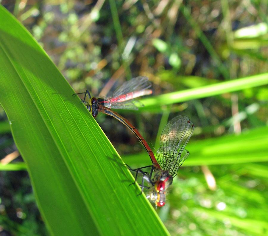 Libellen, die Edelsteine der Lüfte, sind jetzt im Wildwald Voßwinkel zu beobachten. (Foto: Wildwald)