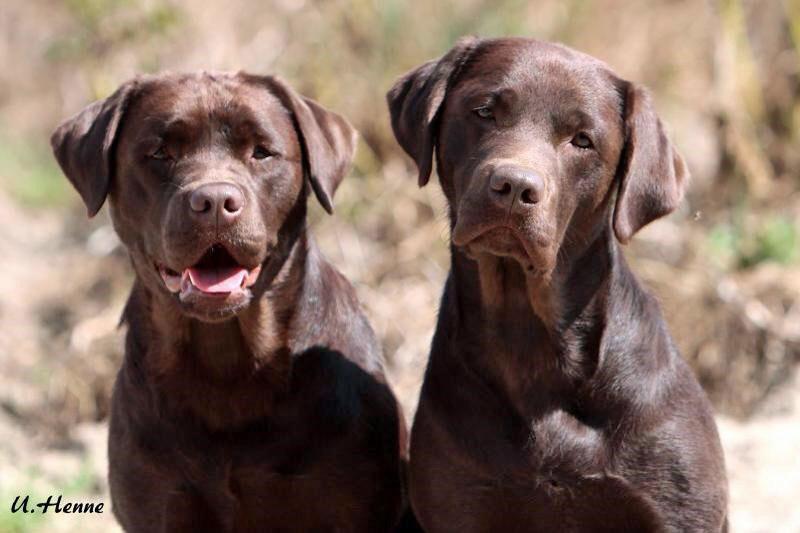 Zwei muntere Labrador Retriever. (Foto: privat)