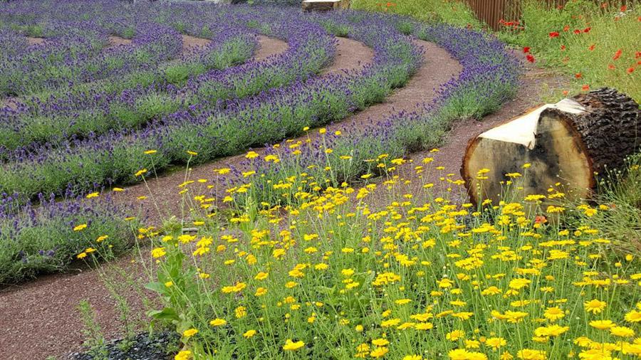 Das Lavendellabyrinth des natur-Erlebnis-raums wird im Kunstsommer offiziell eingeweiht. (Foto: Stadt Arnsberg)