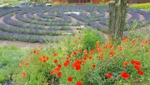 Das Lavendellabyrinth. (Foto: Stadt Arnsberg)
